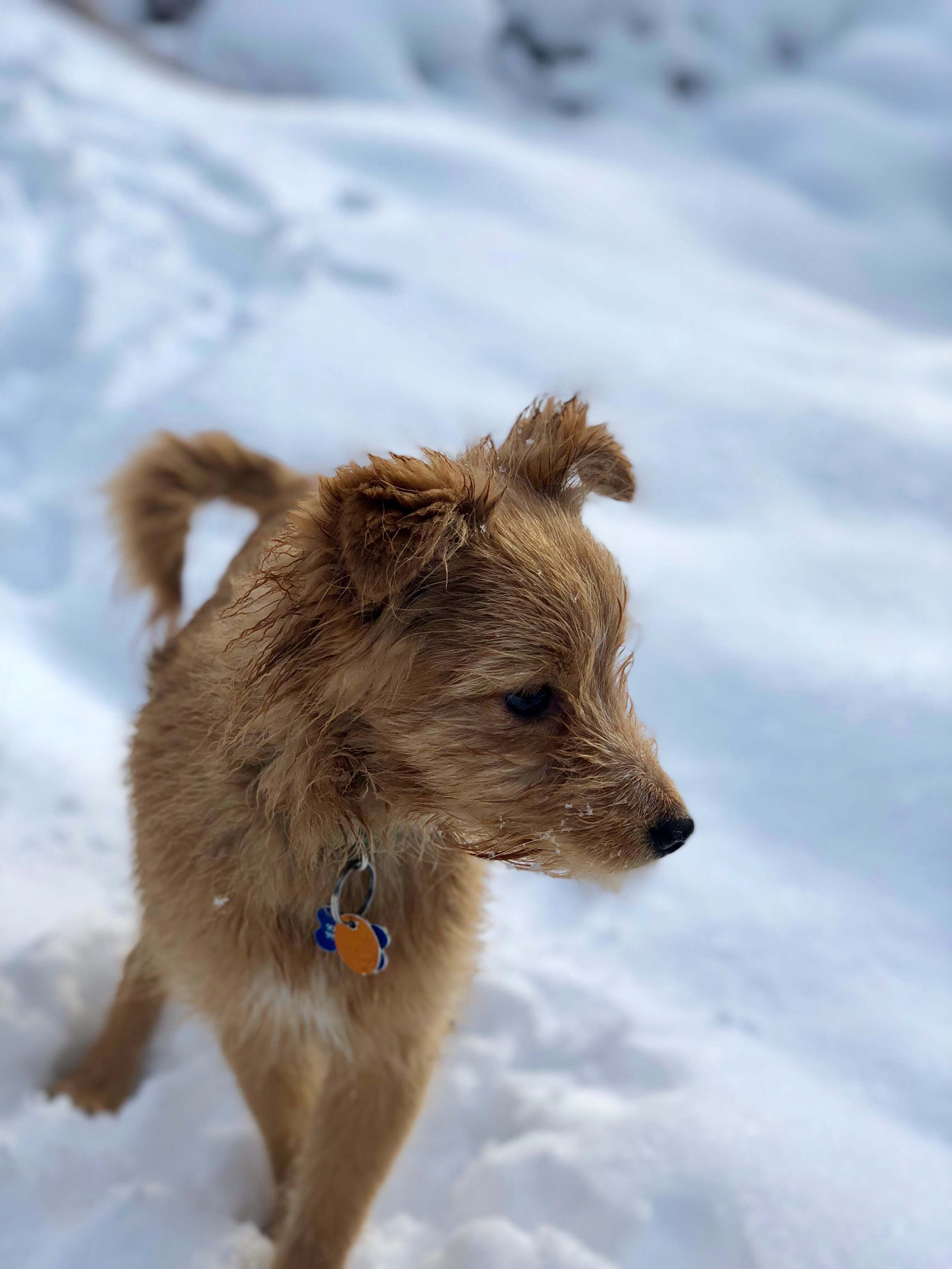 Max: small-breed, blonde dog in snow
